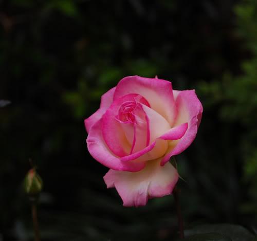 Rosa Princes Grace